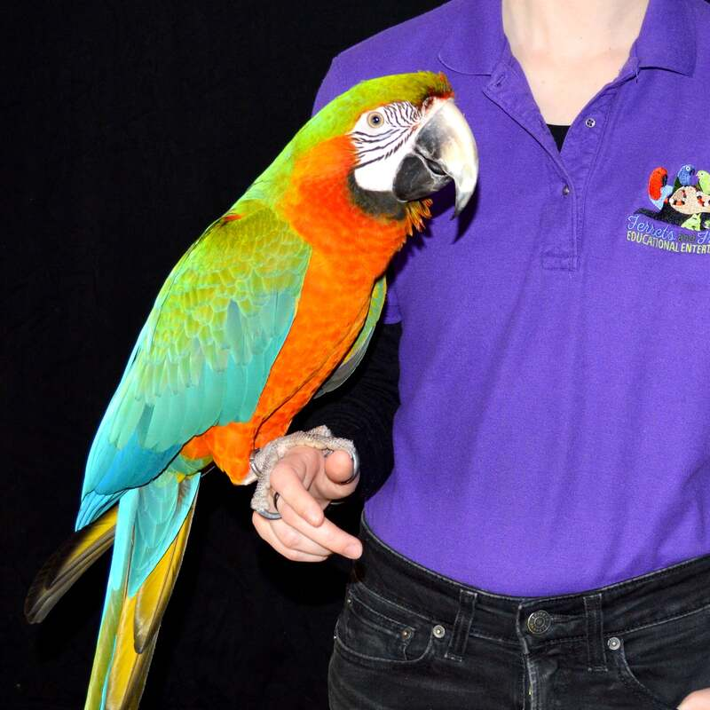 Large macaw parrot with an orange and red chest, green and blue wings