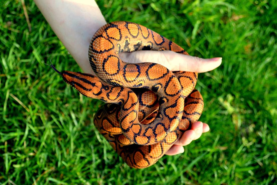 An orange and black snake is resting in a person's hand