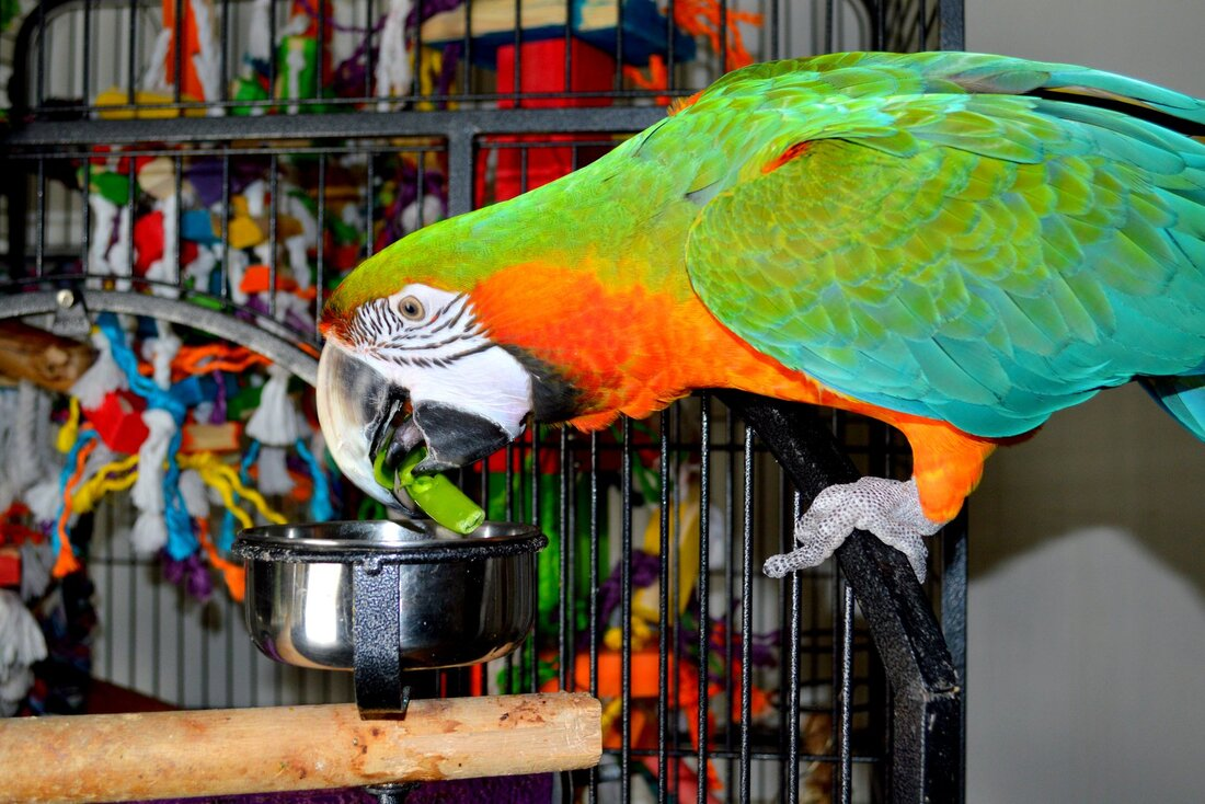 A red and blue parrot reaches towards a grey parrot and appear friendly