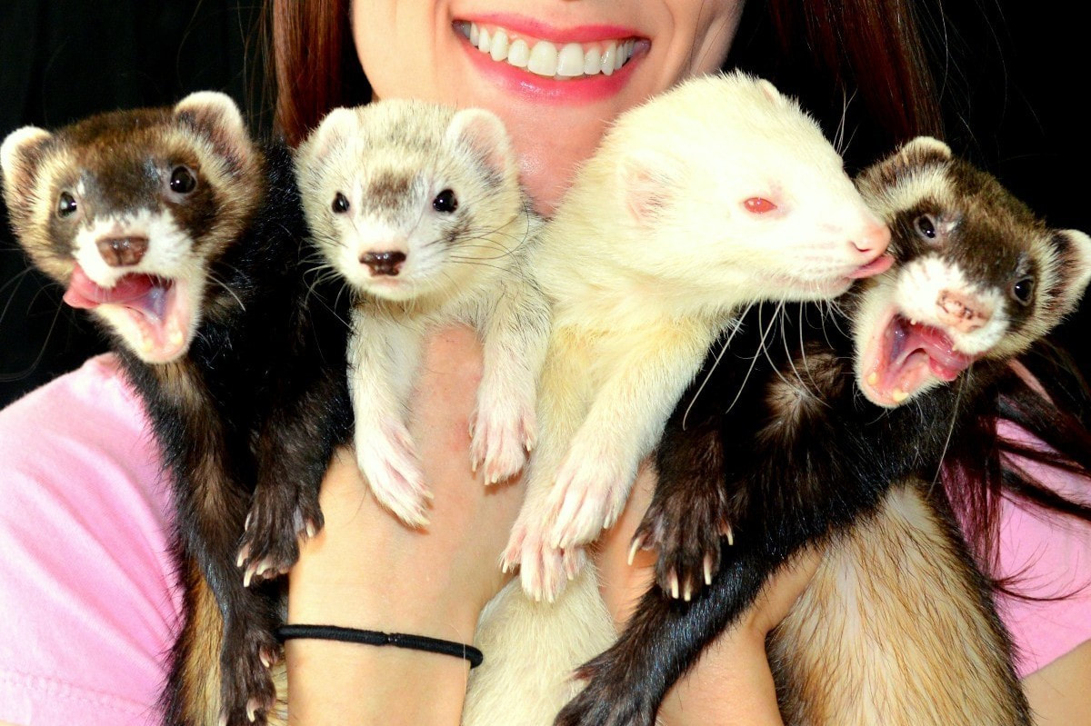 A smiling person is holding four ferrets at once. Two of the ferrets are brown, one is silver, and one is white